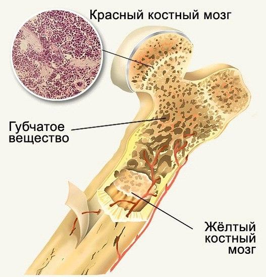 костный мозг где расположен фото надо