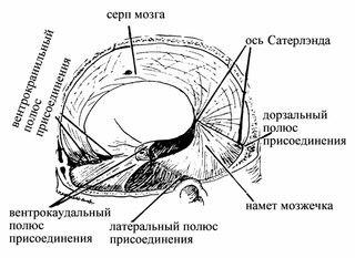 Остеопатия - техники на мембранах мозга.